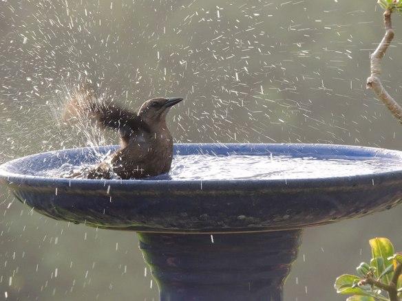 Splashing_Grackle-3