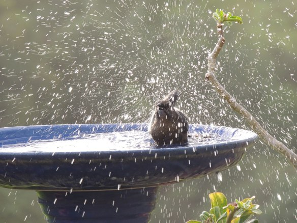 Splashing_Grackle
